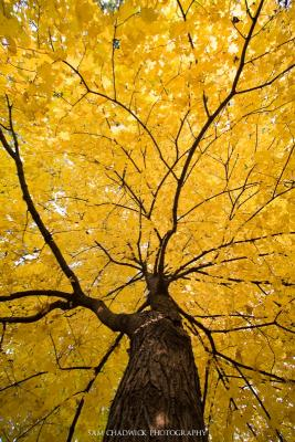 Striped maple in the Fall