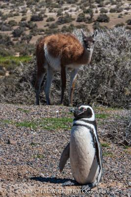 A Magellan penguin poses with a Guanaco